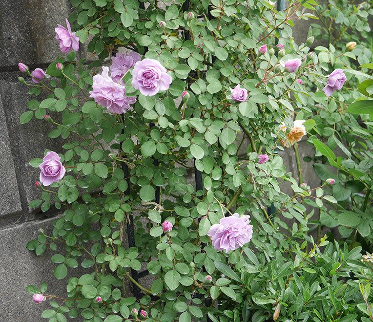 レイニーブルー(ツルバラ)の花が増えてきた。2020年-11.jpg