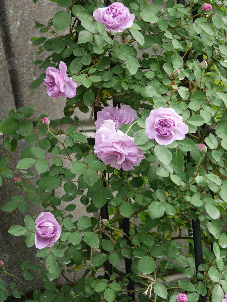 レイニーブルー(ツルバラ)の花が増えてきた。2020年-2.jpg
