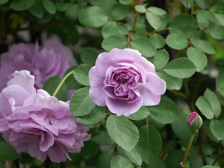 レイニーブルー(ツルバラ)の花が増えてきた。2020年-3.jpg