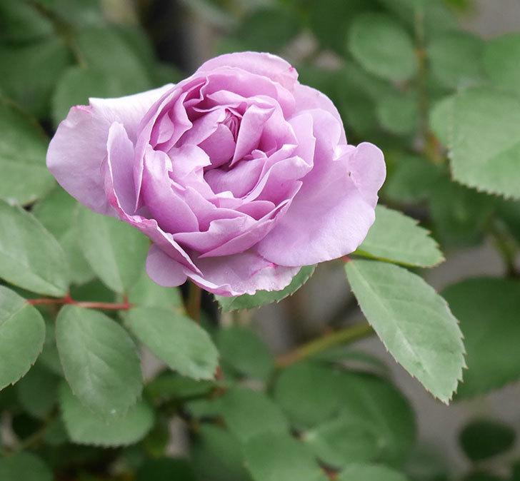 レイニーブルー(ツルバラ)の花が増えてきた。2020年-4.jpg