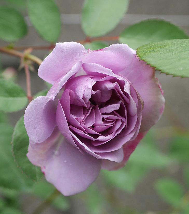 レイニーブルー(ツルバラ)の花が増えてきた。2020年-5.jpg
