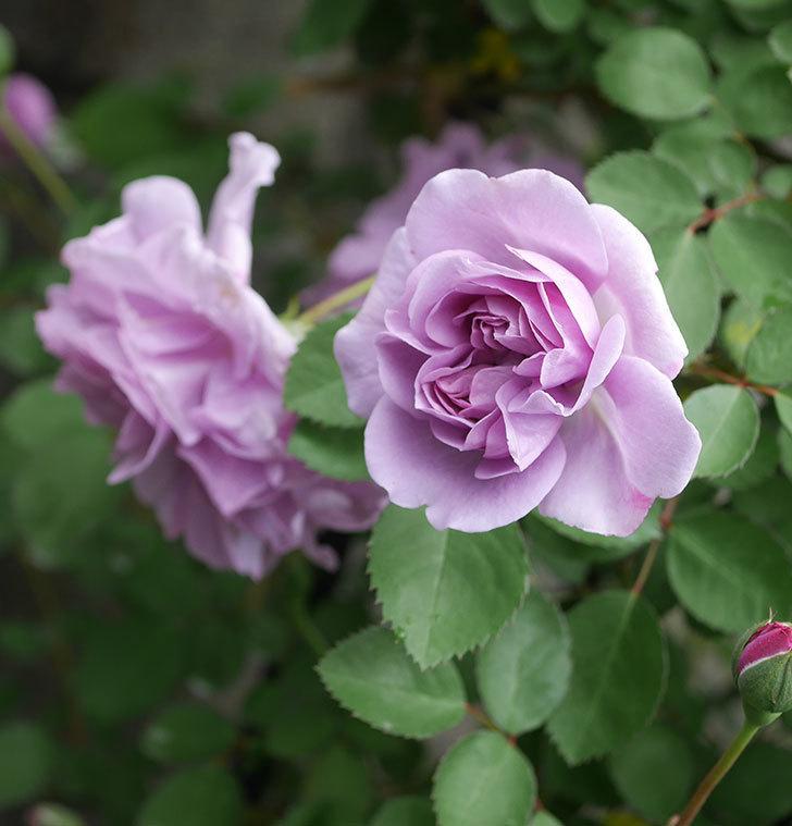 レイニーブルー(ツルバラ)の花が増えてきた。2020年-8.jpg