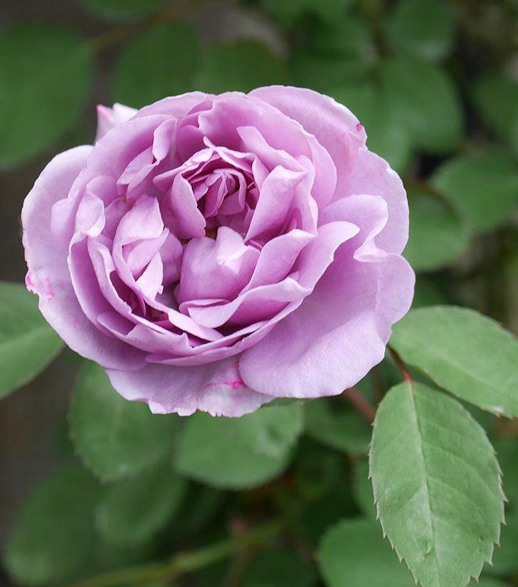 レイニーブルー(ツルバラ)の花が増えてきた。2020年-9.jpg