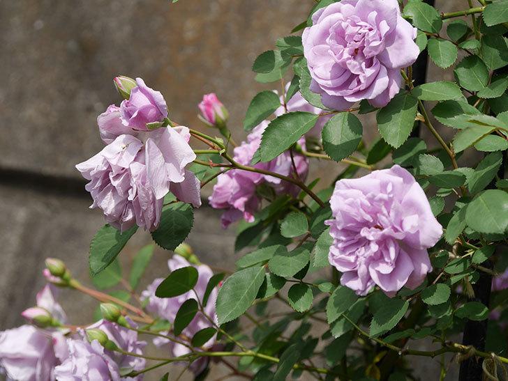 レイニーブルー(ツルバラ)の花が増えて来た。2019年-1.jpg