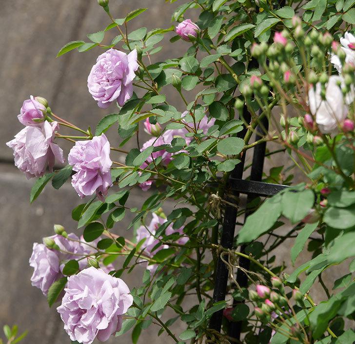 レイニーブルー(ツルバラ)の花が増えて来た。2019年-2.jpg