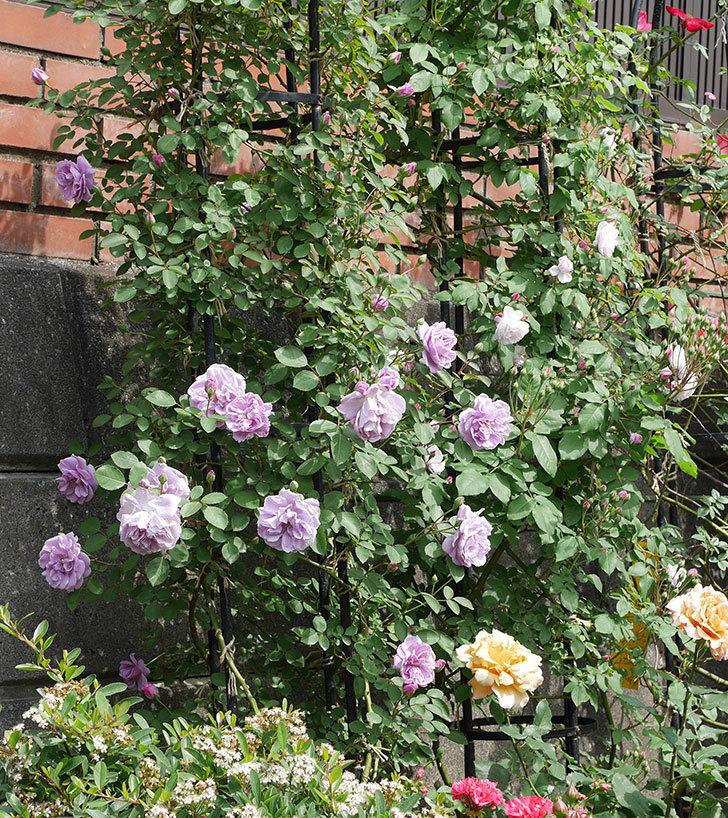 レイニーブルー(ツルバラ)の花が増えて来た。2019年-3.jpg