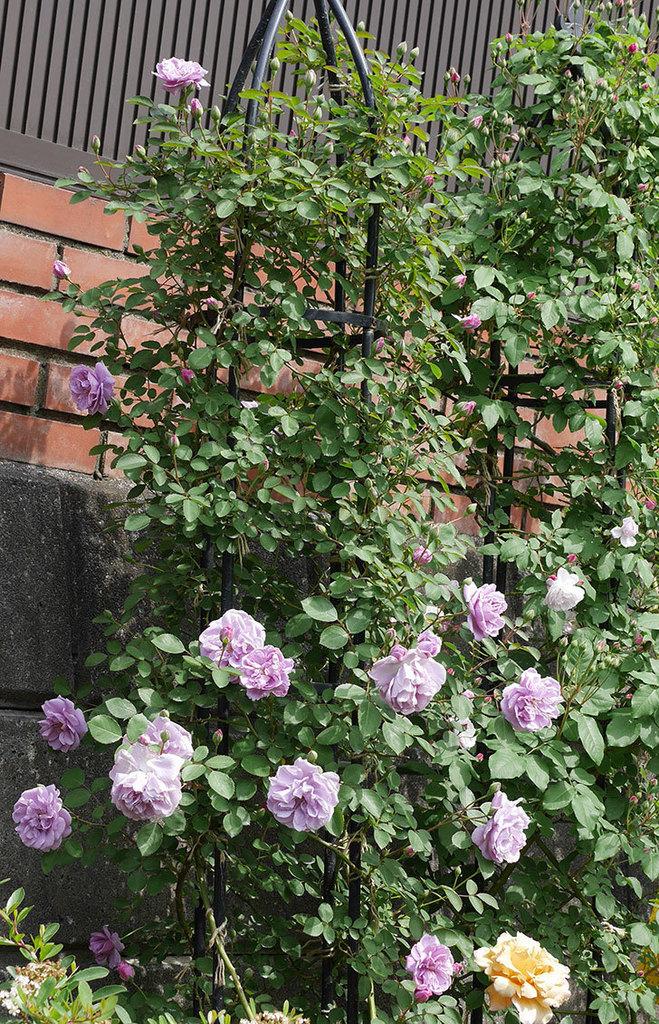 レイニーブルー(ツルバラ)の花が増えて来た。2019年-4.jpg