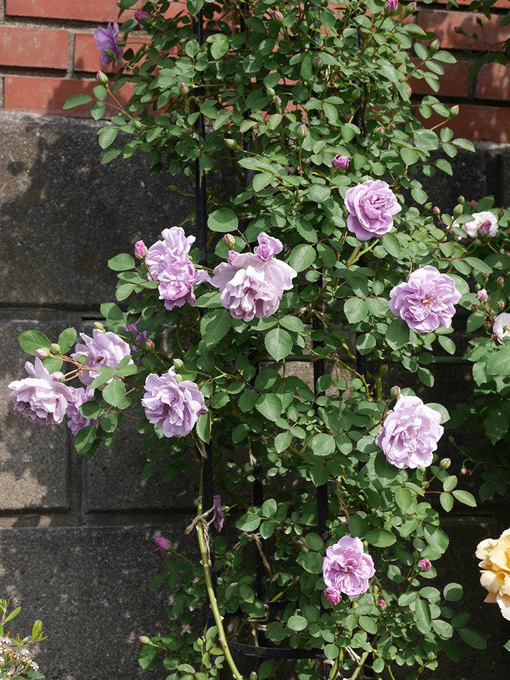 レイニーブルー(ツルバラ)の花が増えて来た。2019年-5.jpg