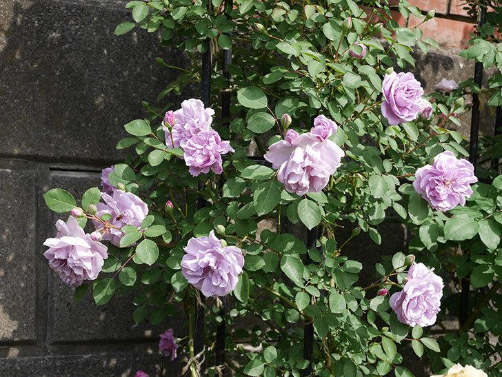レイニーブルー(ツルバラ)の花が増えて来た。2019年-6.jpg
