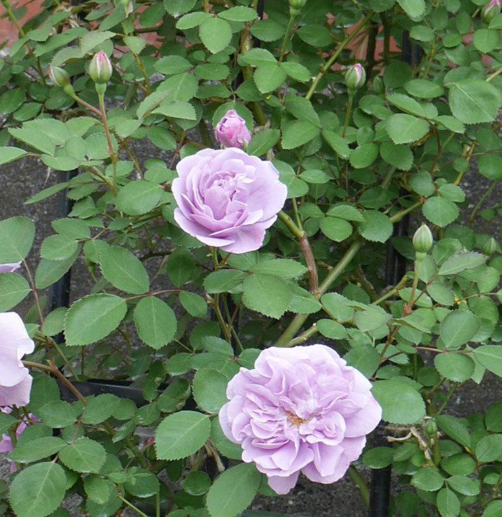 レイニーブルー(ツルバラ)の花が増えて来た。2019年-8.jpg