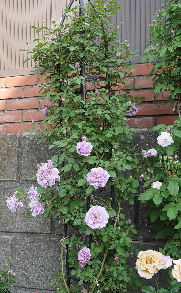レイニーブルー(ツルバラ)の花が増えて来た。2019年-9.jpg