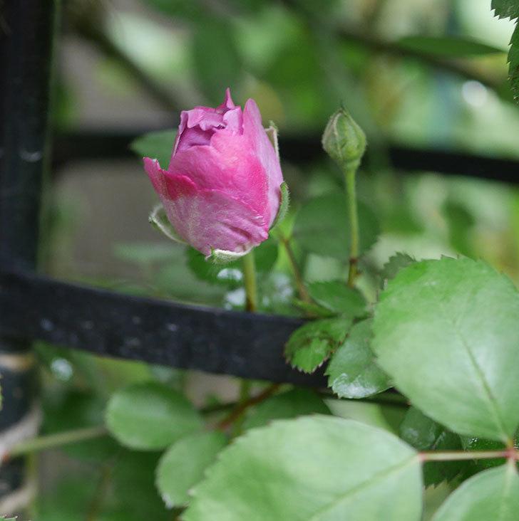 レイニーブルー(ツルバラ)の花が開いて来た。2020年-5.jpg