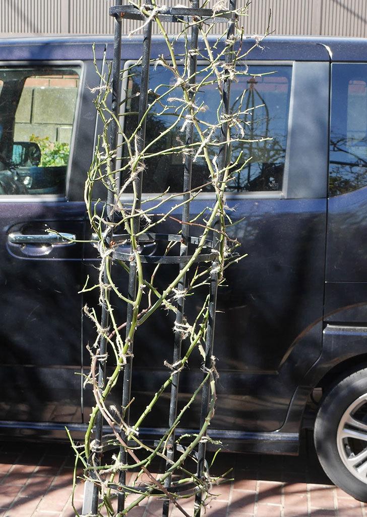 レイニーブルー(ツルバラ)の鉢植えをオベリスクに誘引した。2019年-1.jpg