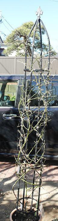 レイニーブルー(ツルバラ)の鉢植えをオベリスクに誘引した。2019年-11.jpg