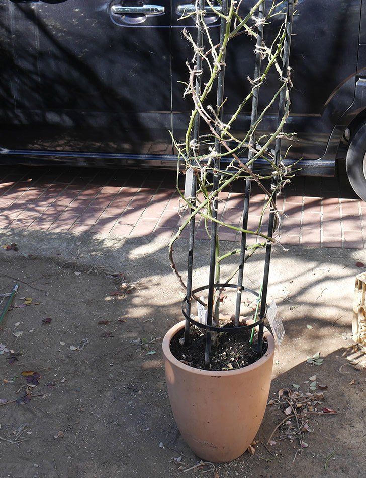 レイニーブルー(ツルバラ)の鉢植えをオベリスクに誘引した。2019年-12.jpg