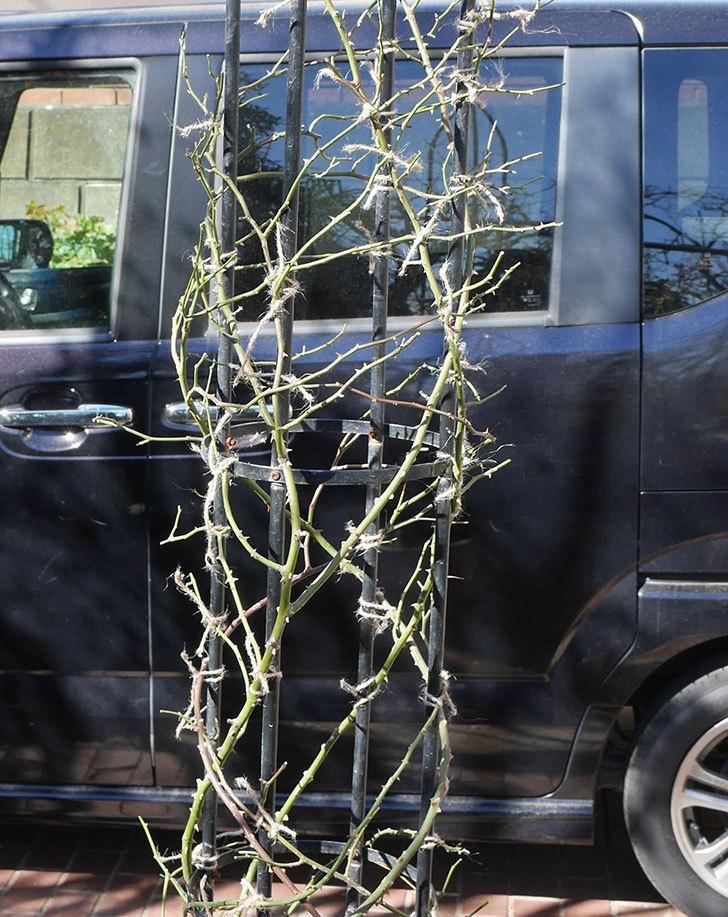 レイニーブルー(ツルバラ)の鉢植えをオベリスクに誘引した。2019年-13.jpg