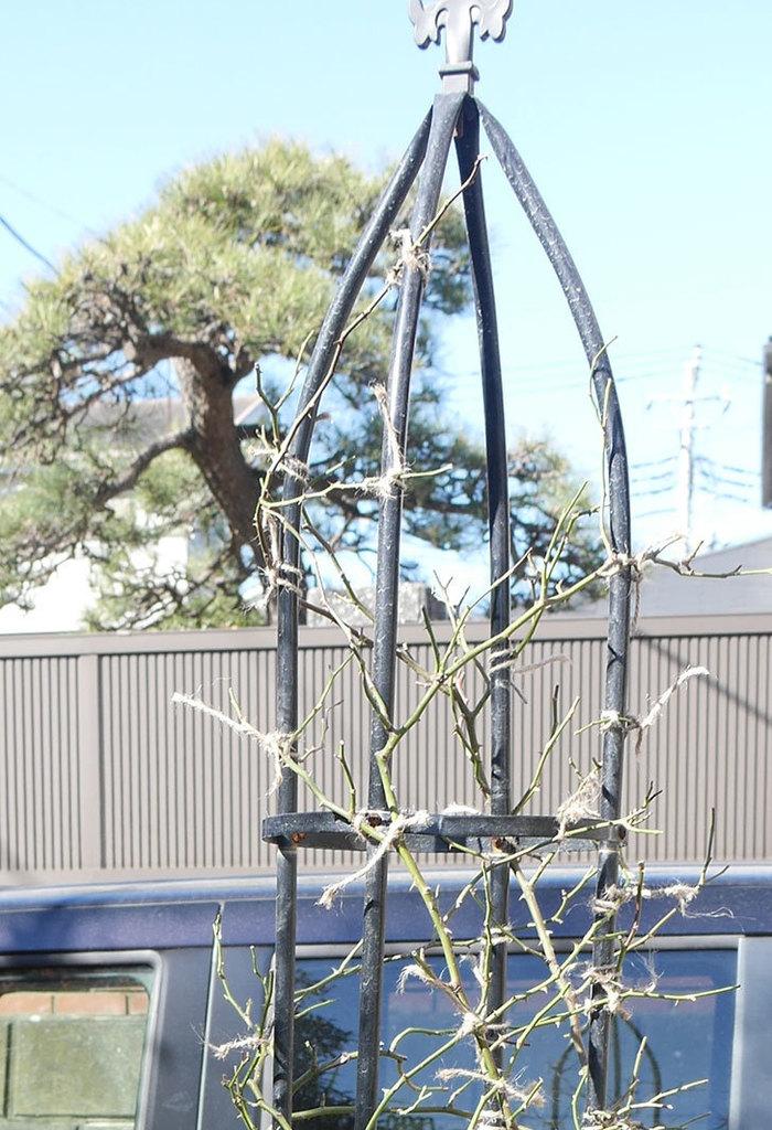 レイニーブルー(ツルバラ)の鉢植えをオベリスクに誘引した。2019年-14.jpg