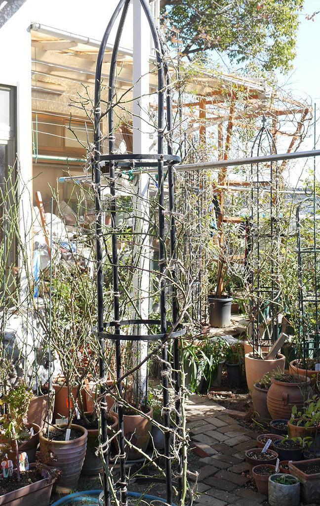 レイニーブルー(ツルバラ)の鉢植えをオベリスクに誘引した。2019年-17.jpg