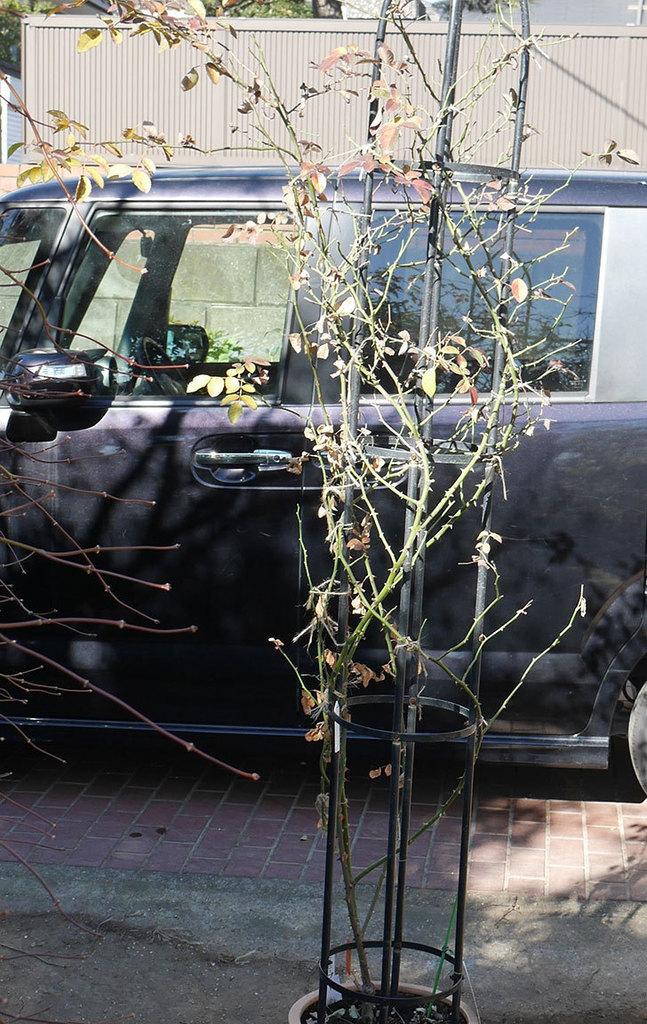 レイニーブルー(ツルバラ)の鉢植えをオベリスクに誘引した。2019年-2.jpg