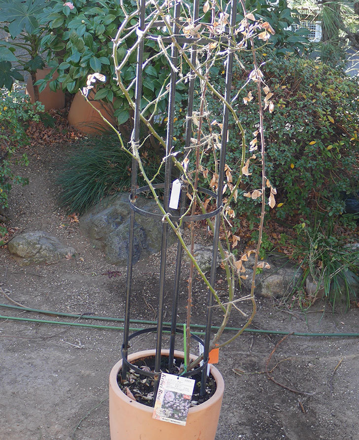 レイニーブルー(ツルバラ)の鉢植えをオベリスクに誘引した。2019年-4.jpg