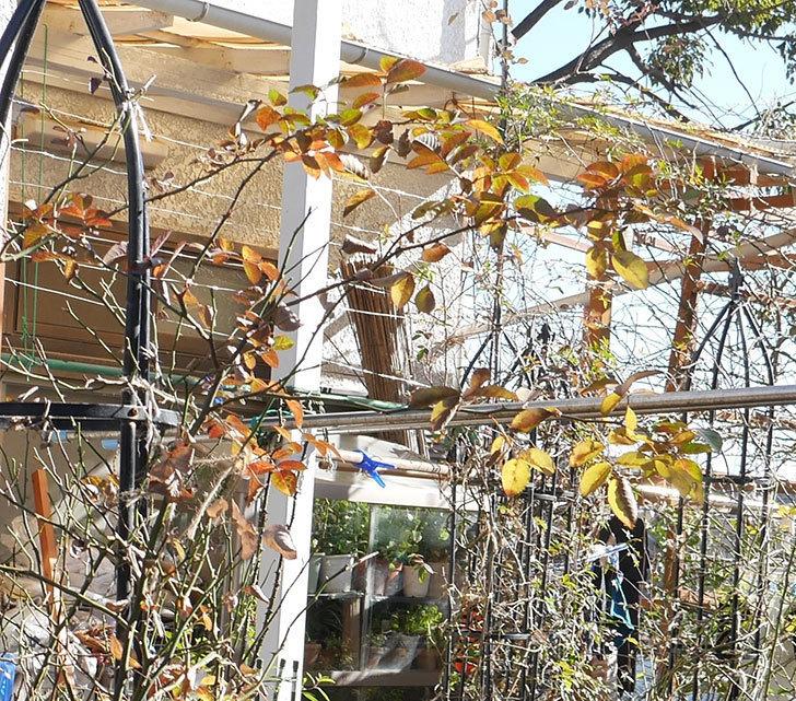 レイニーブルー(ツルバラ)の鉢植えをオベリスクに誘引した。2019年-5.jpg