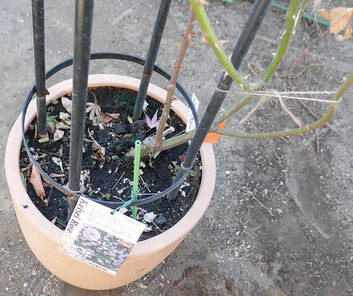 レイニーブルー(ツルバラ)の鉢植えをオベリスクに誘引した。2019年-6.jpg