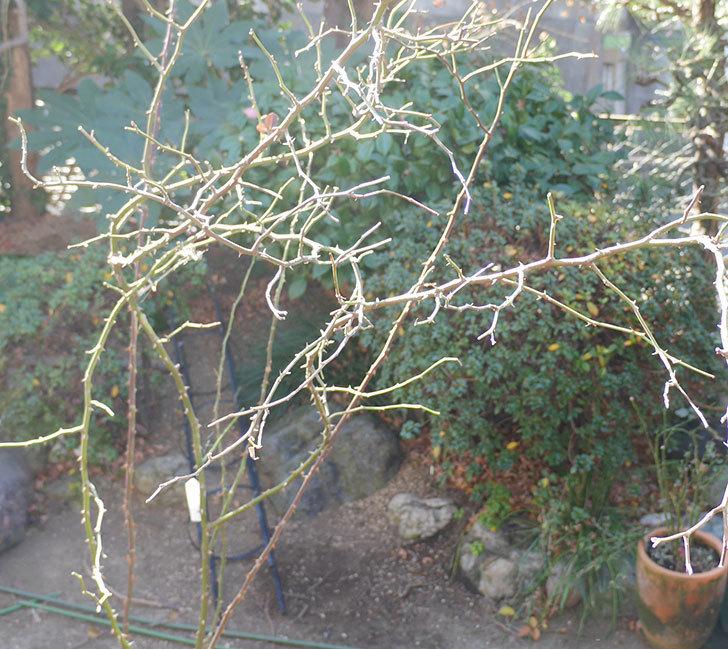 レイニーブルー(ツルバラ)の鉢植えをオベリスクに誘引した。2019年-9.jpg