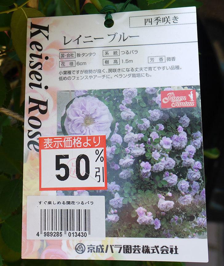 レイニーブルー(ツルバラ)の開花株50%offだったので買って来た。2016年-3.jpg