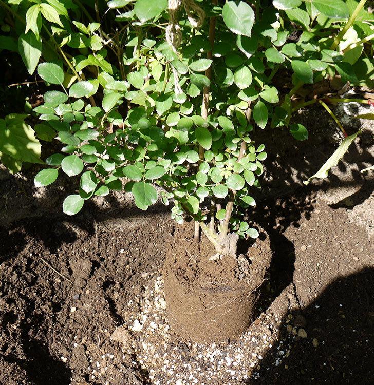 レイニーブルー(ツルバラ)の開花株を地植えした。2016年-3.jpg
