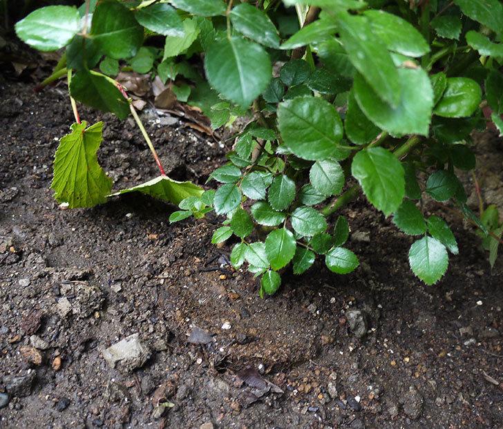 レイニーブルー(ツルバラ)の開花株を地植えした。2016年-5.jpg