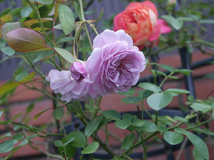 レイニーブルー(Rainy Blue)の2番花がまた咲いた。ツルバラ。2020年-001.jpg