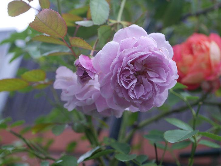 レイニーブルー(Rainy Blue)の2番花がまた咲いた。ツルバラ。2020年-002.jpg
