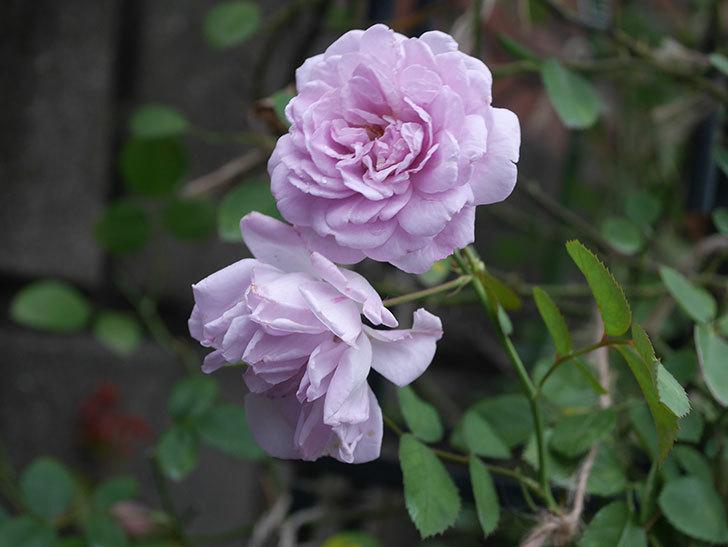 レイニーブルー(Rainy Blue)の2番花がまた咲いた。ツルバラ。2020年-003.jpg