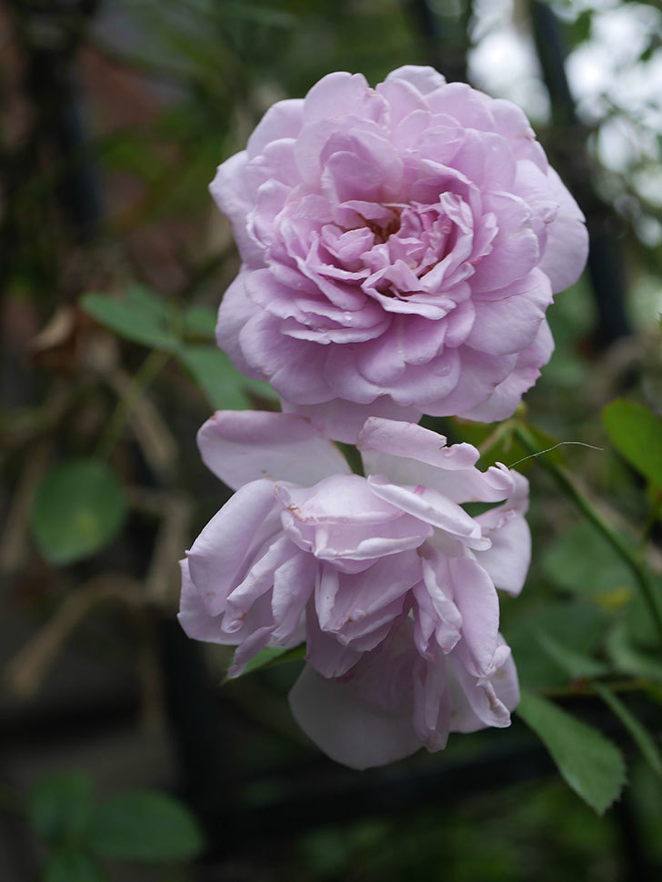 レイニーブルー(Rainy Blue)の2番花がまた咲いた。ツルバラ。2020年-004.jpg