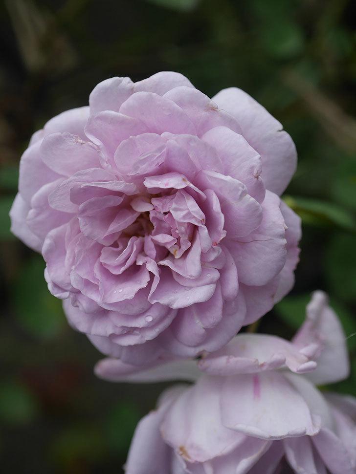 レイニーブルー(Rainy Blue)の2番花がまた咲いた。ツルバラ。2020年-005.jpg