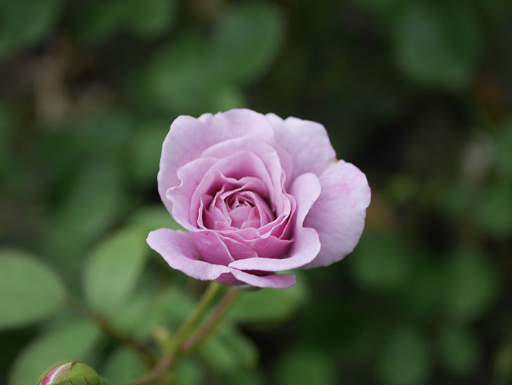 レイニーブルー(Rainy Blue)の2番花がまた咲いた。ツルバラ。2020年-007.jpg