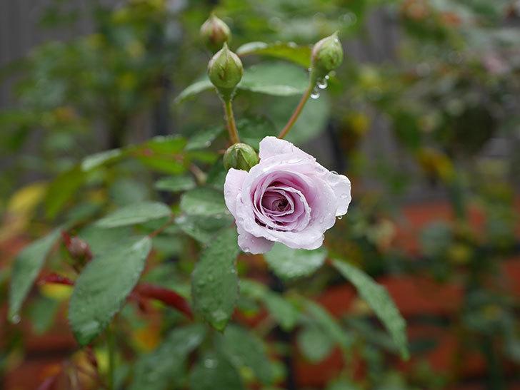 レイニーブルー(Rainy Blue)の2番花がまた咲きだした。ツルバラ。2020年-001.jpg