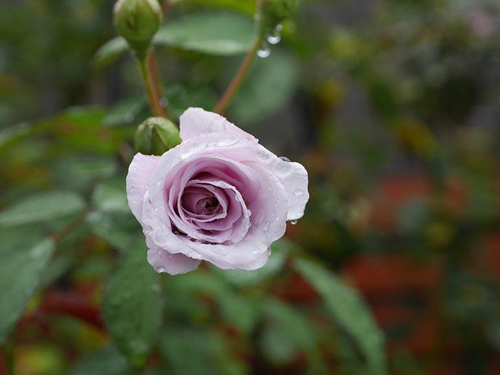 レイニーブルー(Rainy Blue)の2番花がまた咲きだした。ツルバラ。2020年-002.jpg