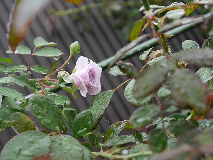 レイニーブルー(Rainy Blue)の2番花がまた咲きだした。ツルバラ。2020年-003.jpg