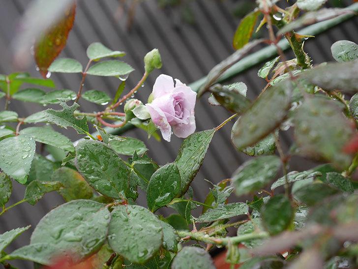 レイニーブルー(Rainy Blue)の2番花がまた咲きだした。ツルバラ。2020年-004.jpg