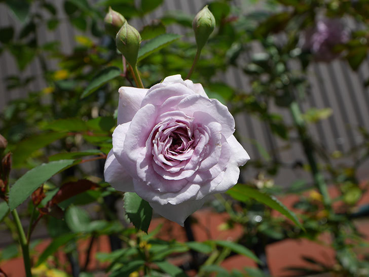 レイニーブルー(Rainy Blue)の2番花がまた咲きだした。ツルバラ。2020年-008.jpg
