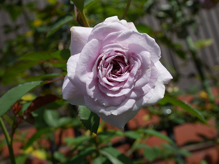 レイニーブルー(Rainy Blue)の2番花がまた咲きだした。ツルバラ。2020年-009.jpg
