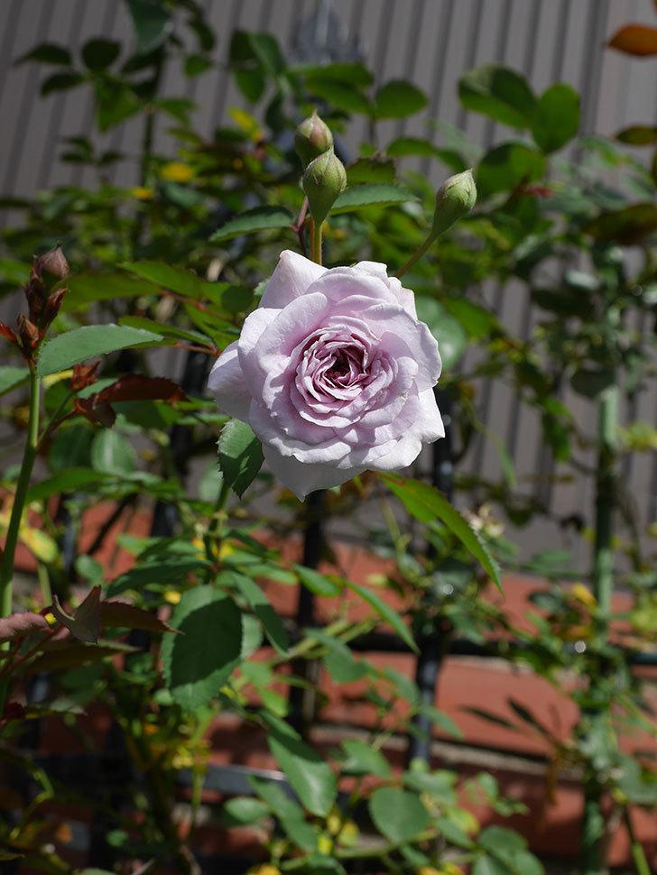 レイニーブルー(Rainy Blue)の2番花がまた咲きだした。ツルバラ。2020年-011.jpg