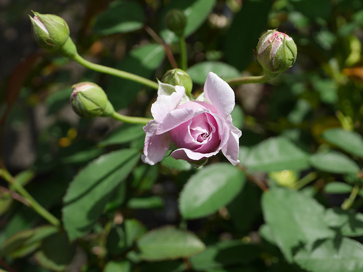 レイニーブルー(Rainy Blue)の2番花がまた咲きだした。ツルバラ。2020年-012.jpg