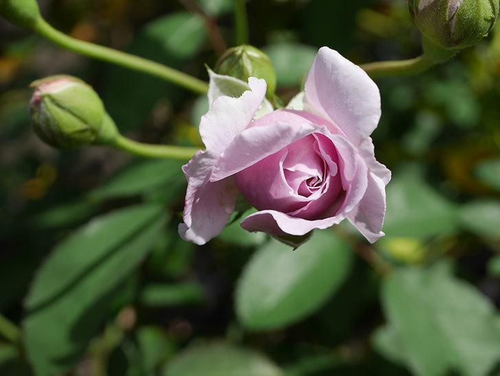 レイニーブルー(Rainy Blue)の2番花がまた咲きだした。ツルバラ。2020年-013.jpg