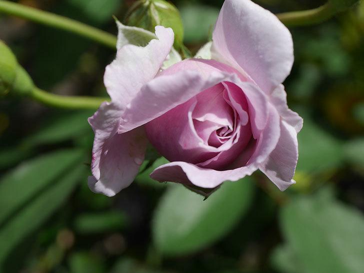 レイニーブルー(Rainy Blue)の2番花がまた咲きだした。ツルバラ。2020年-014.jpg