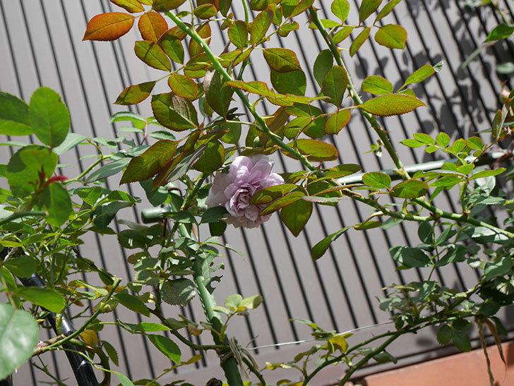 レイニーブルー(Rainy Blue)の2番花がまた咲きだした。ツルバラ。2020年-015.jpg