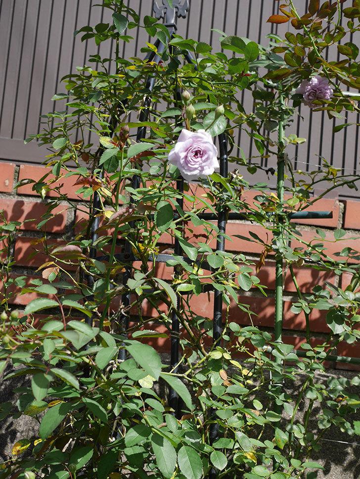 レイニーブルー(Rainy Blue)の2番花がまた咲きだした。ツルバラ。2020年-016.jpg