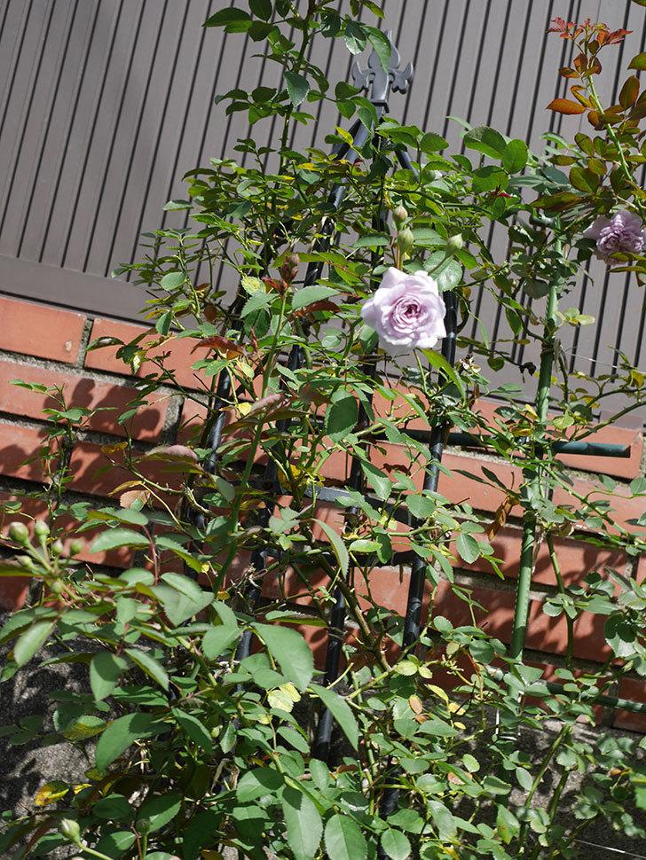レイニーブルー(Rainy Blue)の2番花がまた咲きだした。ツルバラ。2020年-017.jpg