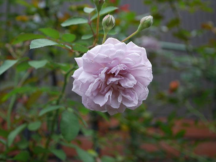 レイニーブルー(Rainy Blue)の2番花がまた咲きだした。ツルバラ。2020年-018.jpg